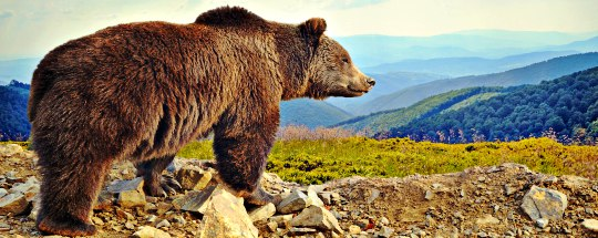 huge grizzly bear surveying the landscape